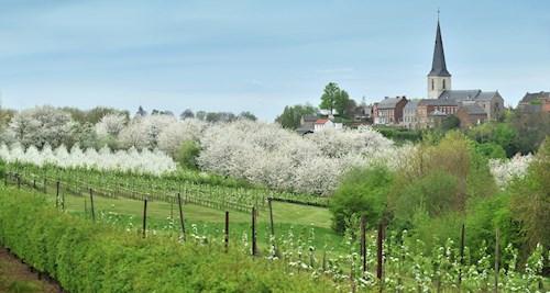 Bloesemroute in Haspengouw